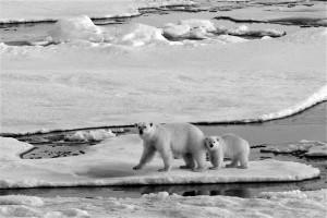 polar bears by Martha de Jong-Lantink